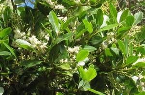 CBR-naturereserve-white-pear