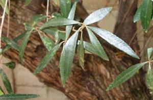 CBR-naturereserve-wild-olive